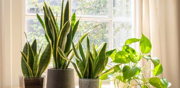 Potted snake plants. Credit: iStock Photo